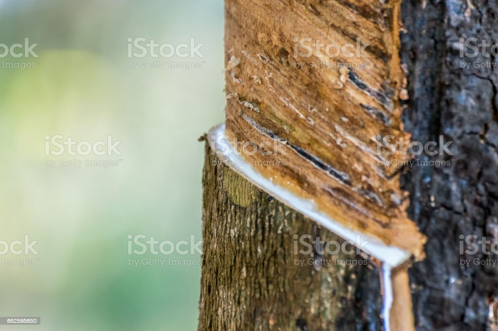 Rubber tree with natural rubber in white milk color drop to the bowl or pot at rubber tree plantation natural latex is a agriculture harvesting for industry in Thailand stock photo