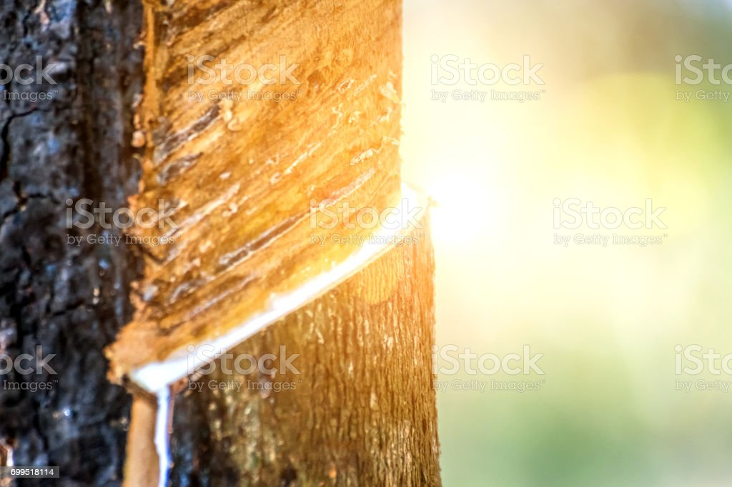 Árvore da borracha com borracha natural na gota de cor branco leite para a tigela ou pote em látex natural de plantação de seringueira é uma agricultura de colheita para indústria na Tailândia - foto de acervo