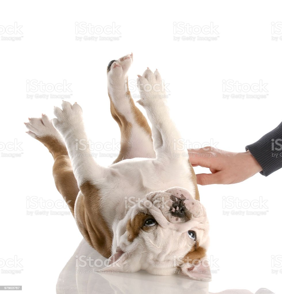 rubbing a puppy belly stock photo