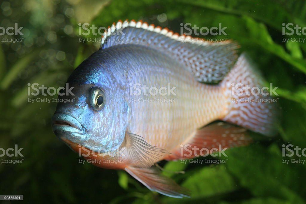 Ruben red tropical fish cichlid royalty-free stock photo