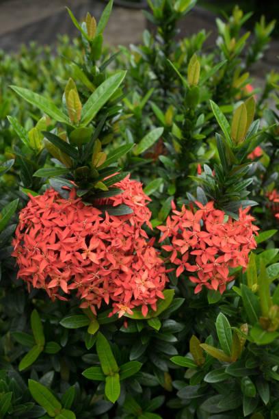 rubiaceae ixora stricta - pauwenkers stockfoto's en -beelden