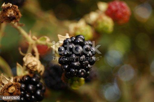 istock Rubus sectio rubus - wild blackberries 843312620