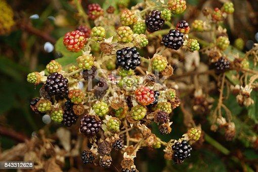 istock Rubus sectio rubus - wild blackberries 843312628