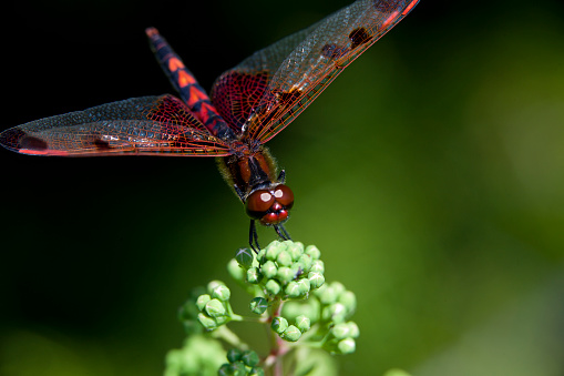 A ruby meadowhawk dragonfly perched along the shorline of a lake in a provincial park.