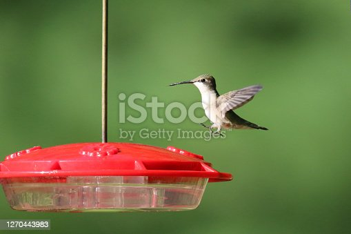 Ruby Throated Hummingbird coming in to land on a feeder