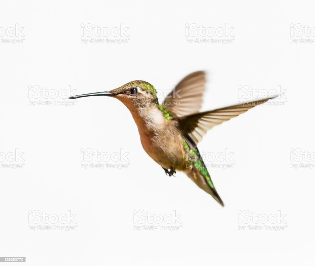 Ruby Throated Hummingbird Anatomy Diagram - Auto Electrical Wiring ...