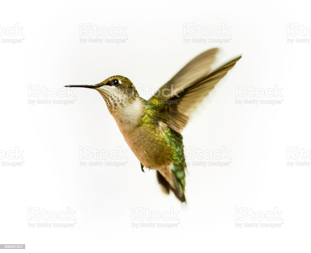 Ruby Throated Hummingbird Anatomy Diagram - Circuit Connection Diagram •
