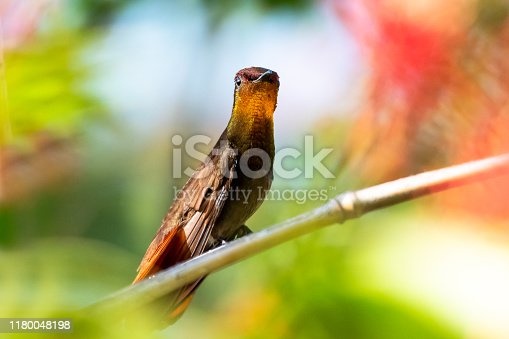 A Ruby Topaz hummingbird perches in a tropical garden surrounded by blurred flowers and foliage.