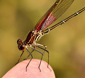 Rubyspot Damselfly on my finger