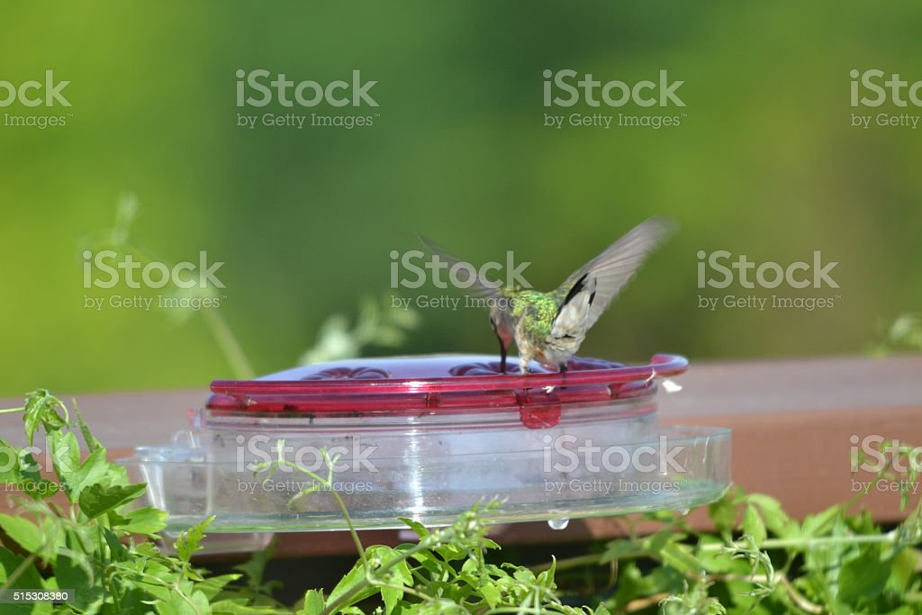 Ruby-throated Hummingbird 16a stock photo