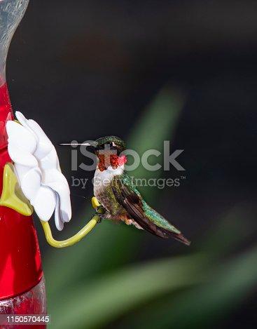 istock Ruby-Throated Hummingbird at Feeder 1150570445