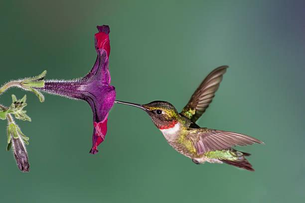 ruby-throated hummingbird - kolibri bildbanksfoton och bilder