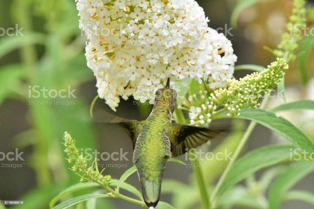 Ruby-throated Hummingbird stock photo