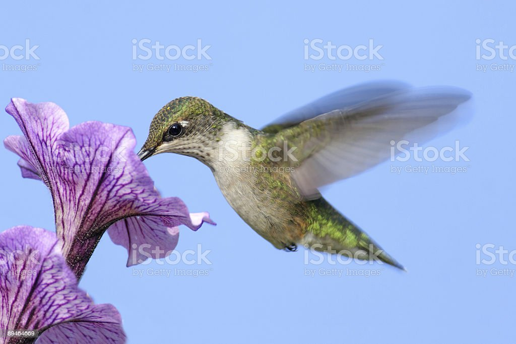 Ruby-throated Hummingbird (archilochus colubris) royalty-free stock photo
