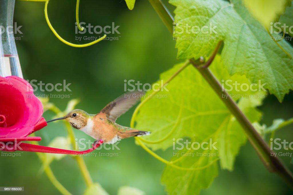 Ruby-throated hummingbird zbiór zdjęć royalty-free