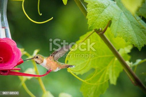 Rubythroated Hummingbird - Stockowe zdjęcia i więcej obrazów Bez ludzi