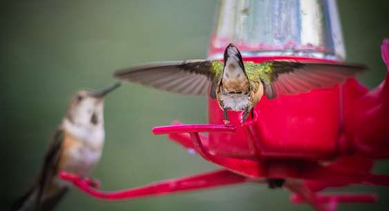 Rubythroated Hummingbird Stock Photo - Download Image Now