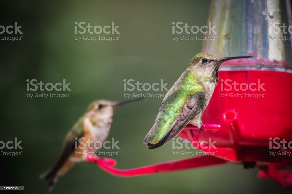 Ruby-throated hummingbird zbiór zdjęć royalty-free