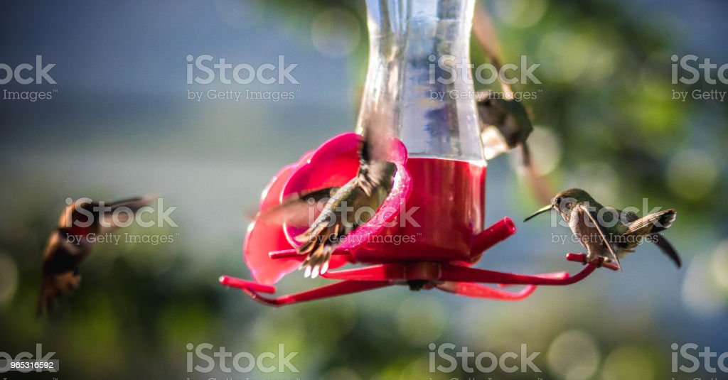 Ruby-throated hummingbird royalty-free stock photo