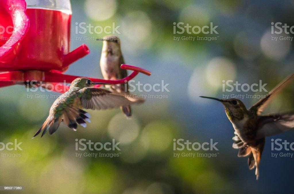 Ruby-throated hummingbird royalty-free stock photo