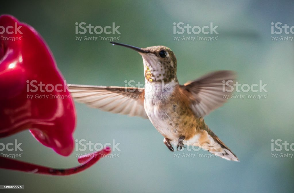Colibri à gorge rubis - Photo de Aile d'animal libre de droits