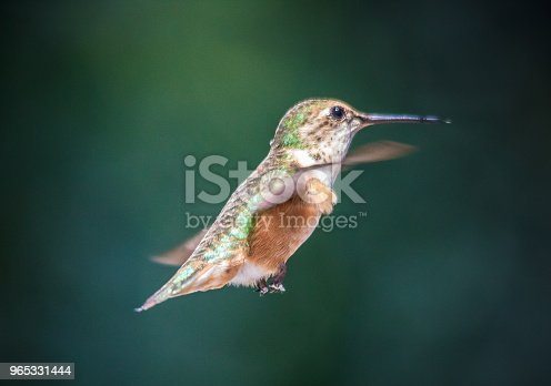 Rubythroated Hummingbird Stock Photo & More Pictures of Animal