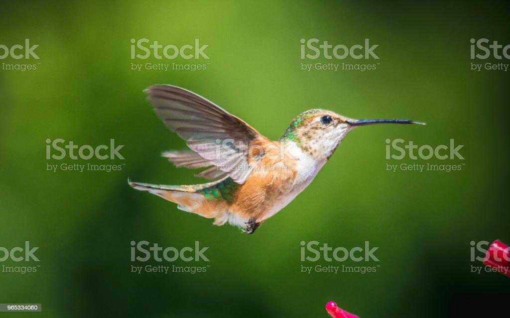 붉은목벌새 - 로열티 프리 0명 스톡 사진