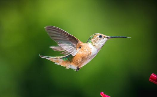 붉은목벌새 0명에 대한 스톡 사진 및 기타 이미지