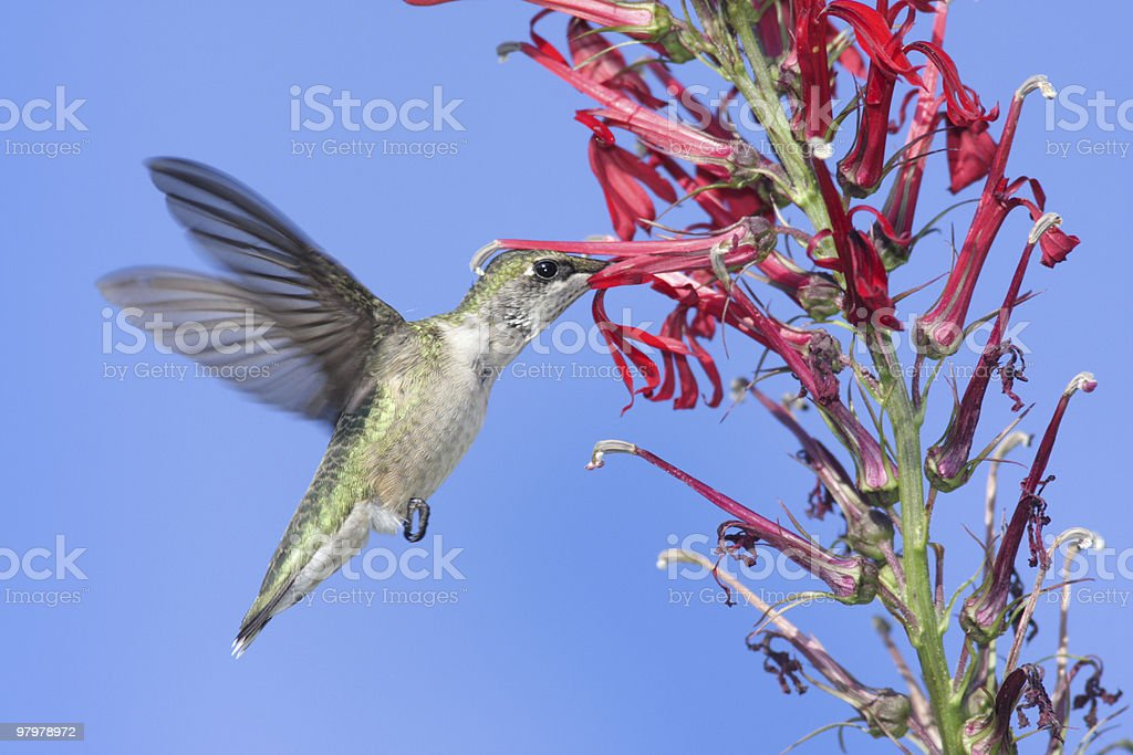 Ruby-throated Hummingbird (archilochus colubris) royalty-free stock photo