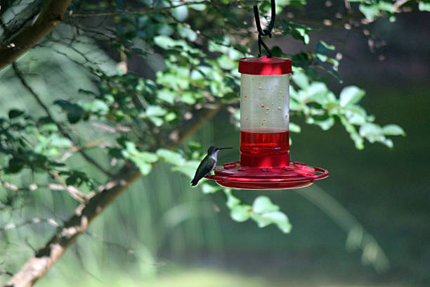 ruby-throated hummingbird visits garden feeder - pam schodt stock photos and pictures