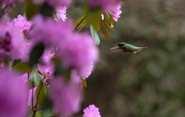 Ruby-Throated Humngbird in Flight stock photo