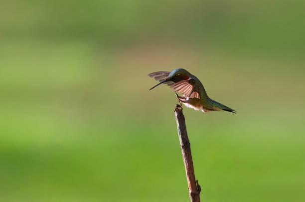Ruby-Throated Humngbird Landing stock photo