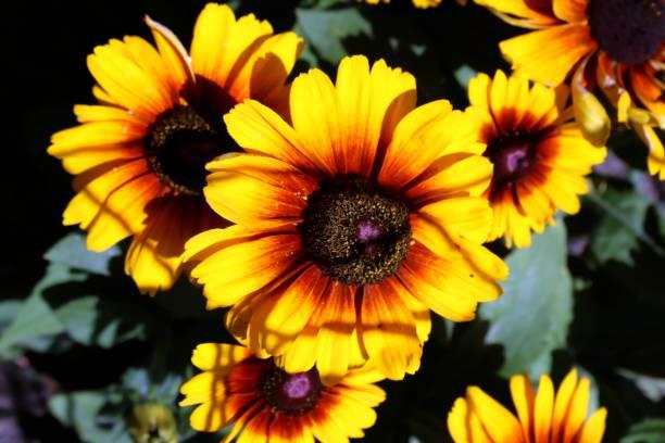Rudbecia, gelbe Blume, Blüte – Foto