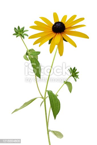 Rudbeckia, black eyed susan flowers