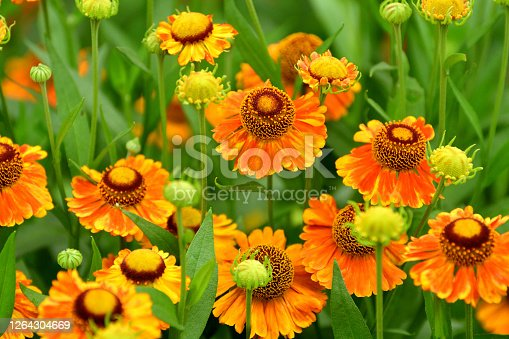 Rudbeckia, which is commonly called Black-eyed Susan or Cone flower, is one of the most popular perennials, having a long blooming period (from mid-summer to autumn). Most rudbeckia come in shades of yellow or orange. The gold daisy-like flowers have a distinct dark brown central cone.