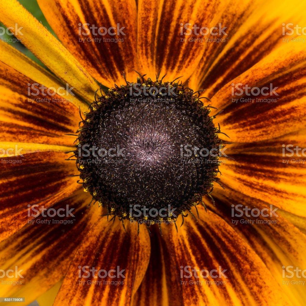 Rudbeckia Bloom stock photo