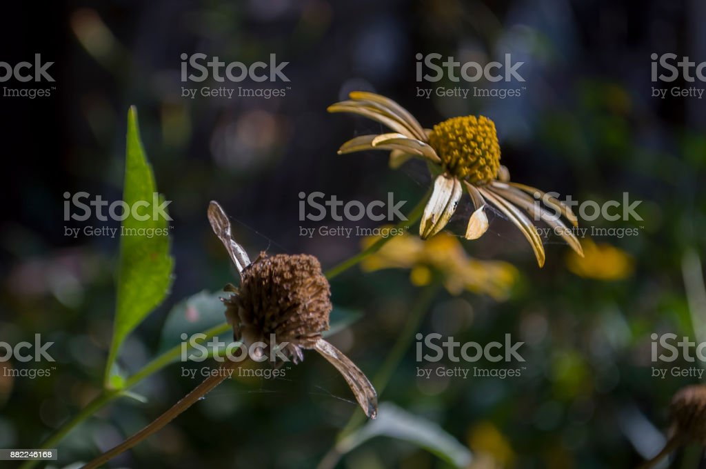 Rudbeckia flower. Garden yellow flower. Still life. dry herb. Autumn stock photo