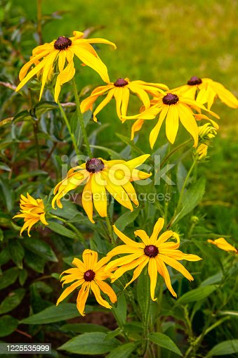 Rudbeckia yellow flowers (coneflowers or black-eyed-susans)