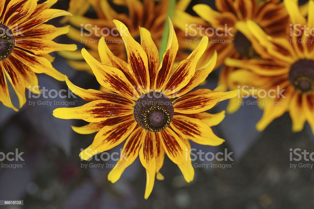 rudbeckia flowers royalty-free stock photo
