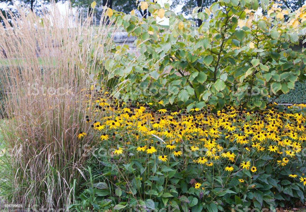장식 침대에 Rudbeckia fulgida - 로열티 프리 가을 스톡 사진