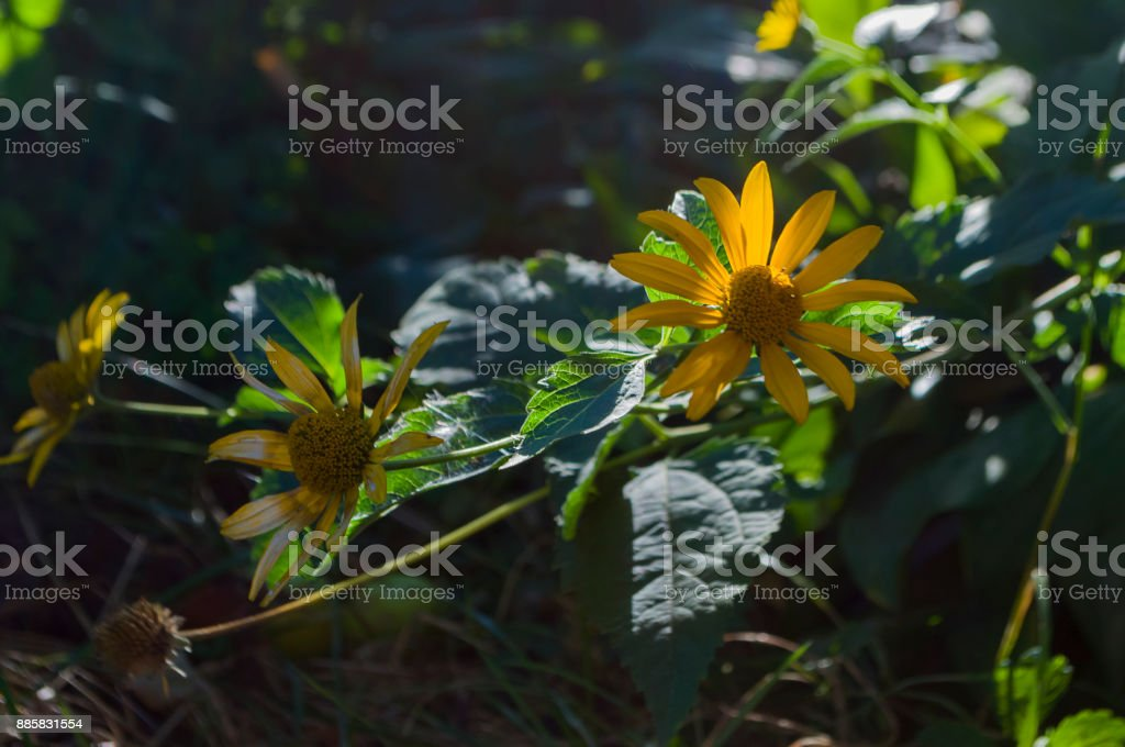 Rudbeckia. Garden orange flower. Blossom in summer stock photo