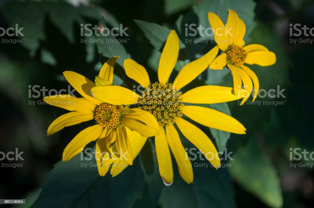 Rudbeckia. Garden yellow flower. Blossom stock photo