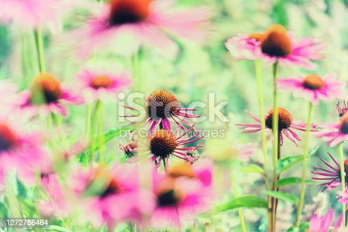 istock rudbeckia green red pink color flowers 1272786464