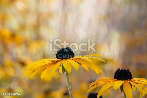 Rudbeckia hirta, commonly known as Black-Eyed Susan, Gloriosa Daisy or Yellow Oxeye Daisy belongs to the Asteraceae family. Unclultivated with selective focus and soft golden colours.
