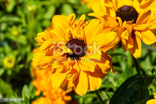 Rudbeckia hirta 'Goldilocks' a yellow orange herbaceous perennial summer autumn flower plant commonly known as Black Eyed Susan or Coneflower stock photo