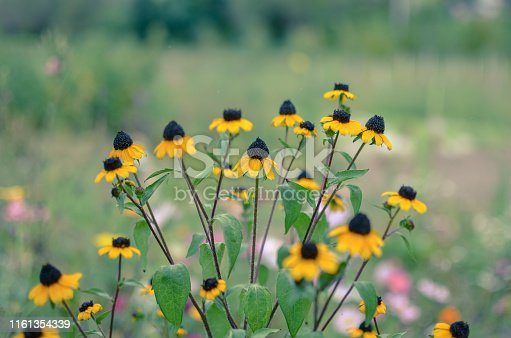 Rudbeckia Hirta L. Toto, Black-Eyed Susan flowers of the Asteraceae family background
