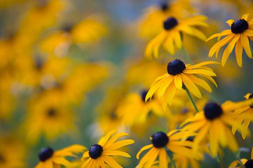 Rudbeckia hirta Or Black-eyed Susan Flower.