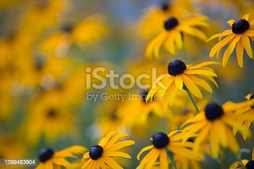 Rudbeckia hirta Or Black-eyed Susan Flower.