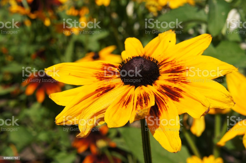 Rudbeckia hirta or black-eyed-Susan yellow and red flower with green stock photo