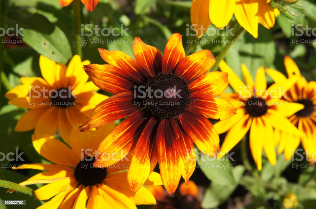 Rudbeckia hirta or black-eyed-Susan yellow and red flowers with green stock photo